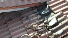 Thumbnail of Bat infestation on a roof