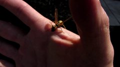 Thumbnail of Mantidfly - Praying mantis with wings and looks like a Wasp.