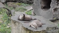 Thumbnail of Otter Plays with Rock in Hard Mode