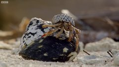Thumbnail of Amazing Crabs Shell Exchange - Life Story - BBC