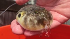 Thumbnail of Puffer Fish releasing water!