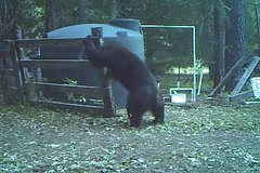 Thumbnail of Bear gets hit in the nuts for messing with water tank