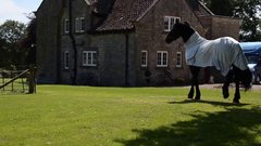 Thumbnail of Elegant Friesian horse meets the neighbours cows. SO FUNNY, what a horse!