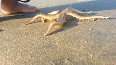 Thumbnail of Starfish Walking on the Beach