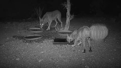 Thumbnail of A Coyote and a Bobcat Walk into a Bar...