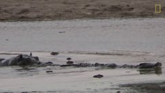 Thumbnail of Young Hippo Tries to Play With Crocodile