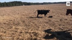 Thumbnail of Horse Protects Rancher From Cows As He Tags Calves