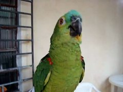 Thumbnail of Parrot sings opera