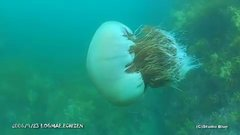 Thumbnail of Huge jellyfish