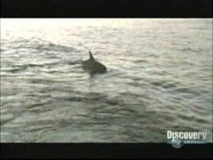 Thumbnail of Are sharks afraid of dolphins?
