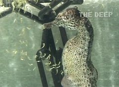 Thumbnail of Male seahorse giving birth at The Deep Hull